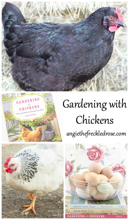 The newly released book, Gardening with Chickens, by Lisa Steele combines my two favorite hobbies. It blends chicken keeping with gardening in an original and purposeful way that will open up your eyes to new possibilities. If you are looking to raise a healthy flock, this book covers gardening for optimal egg production, edibles to avoid planting and herbs to add to nesting boxes.