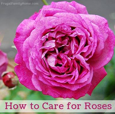 How to Care for Roses - Frugal Family Home