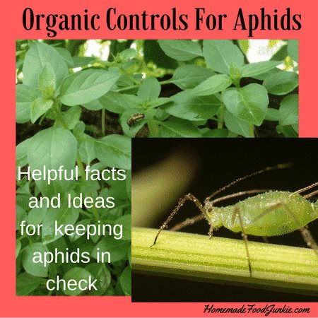 Organic Control for Aphids - Homemade Food Junkie