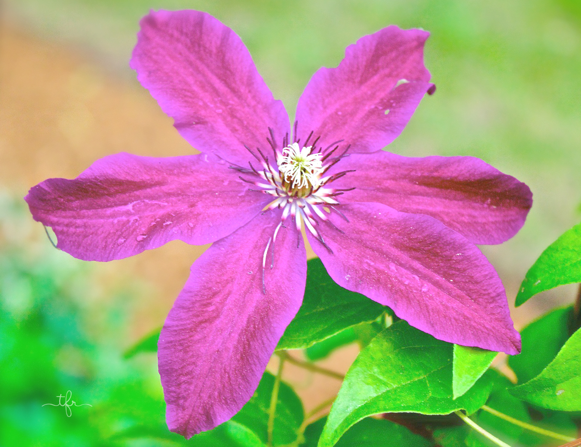 Clematis is one of my favorite flowering vines. It is also sadly a favorite meal of every critter in my yard. Almost any time I've grown clematis, something has snuck in my yard and eaten the roots. Even though I should give up at this point, I don't! Now, I've switched to growing clematis in containers. I've had much better luck! There are a variety of different types of clematis vines you can grow in your yard. They prefer a sunny location with rich, well-draining soil. Looks lovely trailing on fences, lamp posts and standing mailboxes.
