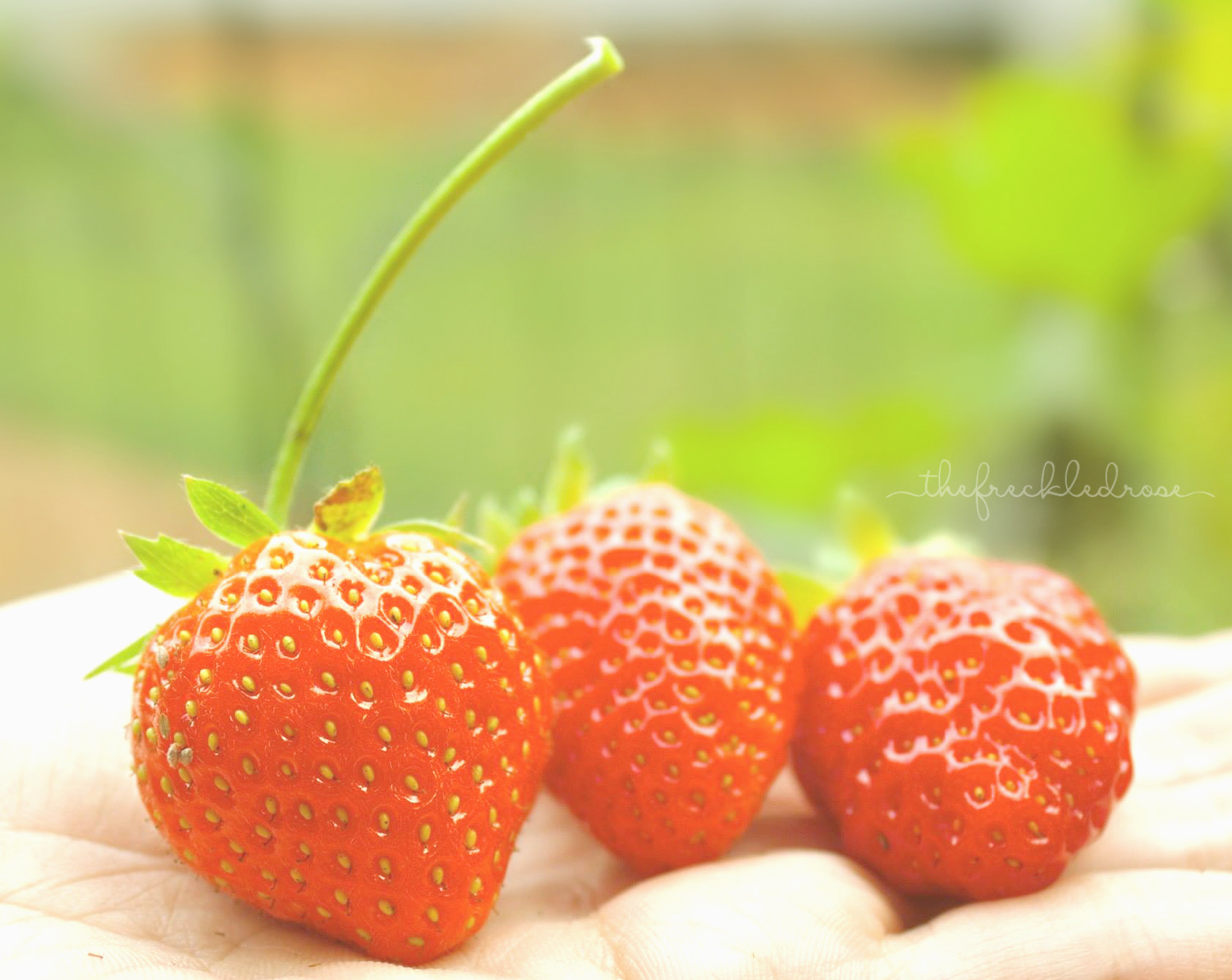 Once you learn to grow your berries, you can harvest them and make a bunch of delicious confections and treats. Chocolate covered strawberries, strawberry lemonade, strawberry shortcake, berry jam, fruit tarts and the list just goes on! Here, I will be sharing with you a simple guide to growing strawberries. Read on to learn more! A Simple Guide To Growing Strawberries | Angie The Freckled Rose