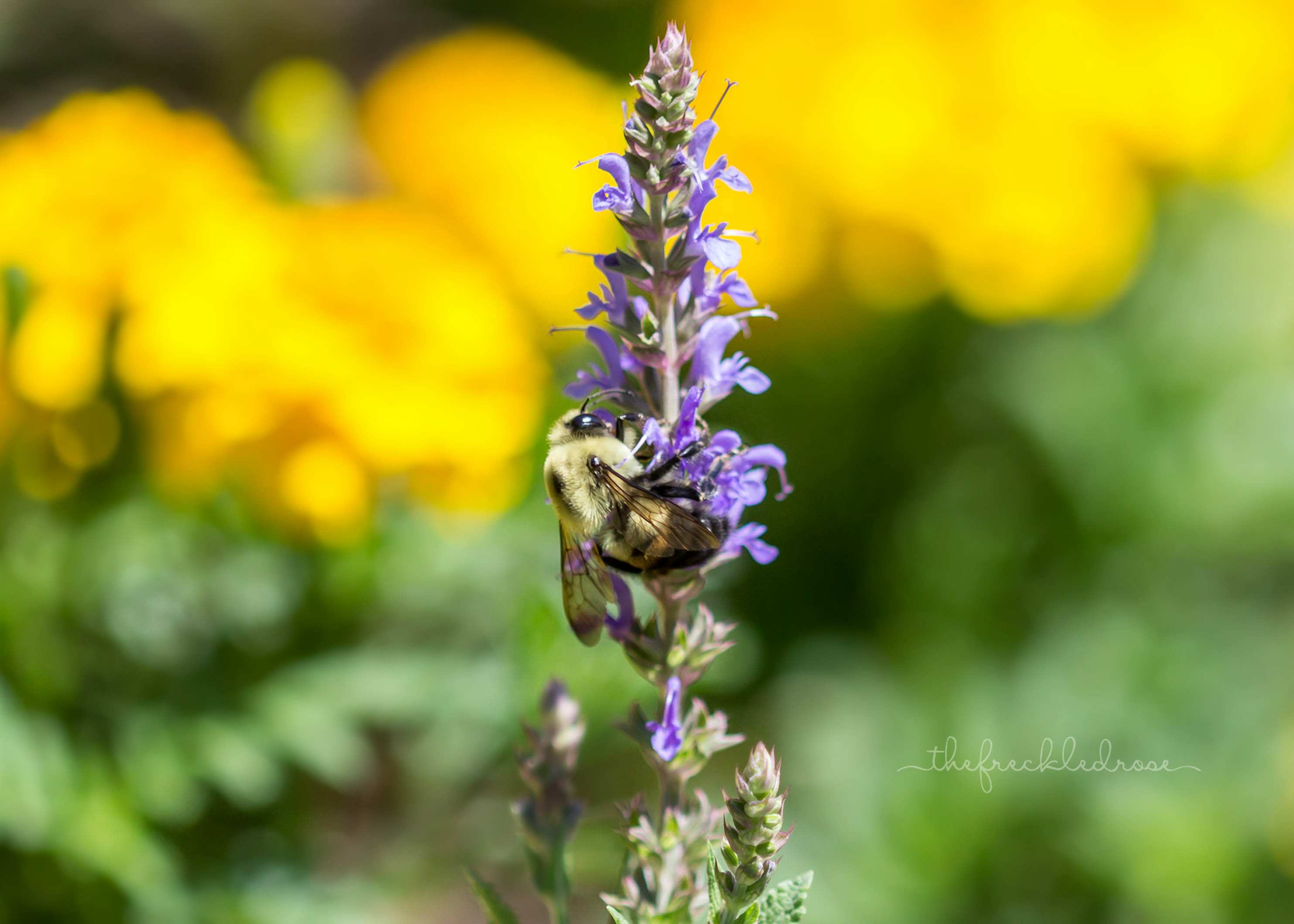 Bee enjoying the flowers at Brookside Gardens in Wheaton, Maryland