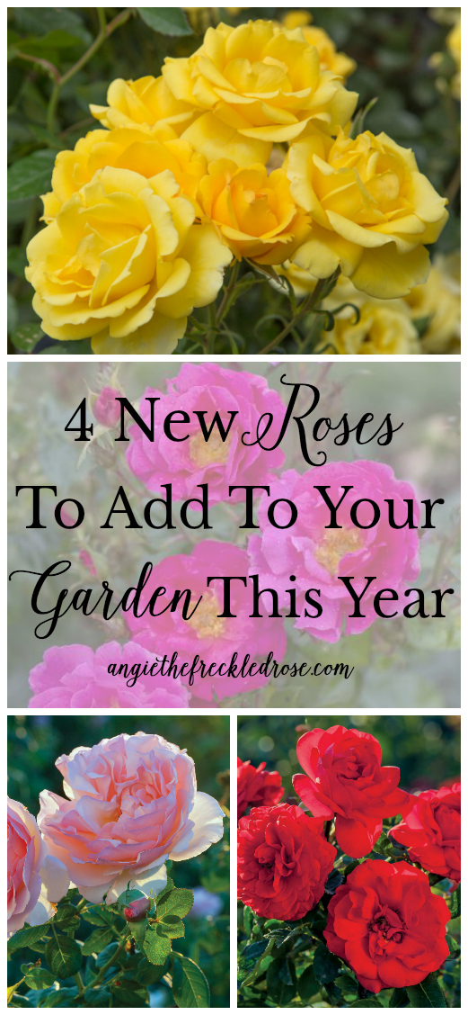 4 New Roses To Add To Your Garden This Year | Roses are a classic staple in the gardening world. For good reason, I might add! They are the perfect addition to any landscape, adding color, height and fragrance. There are a variety of types of roses to choose from, making it easy to find something that suits your ideal palette and well thought out plans.