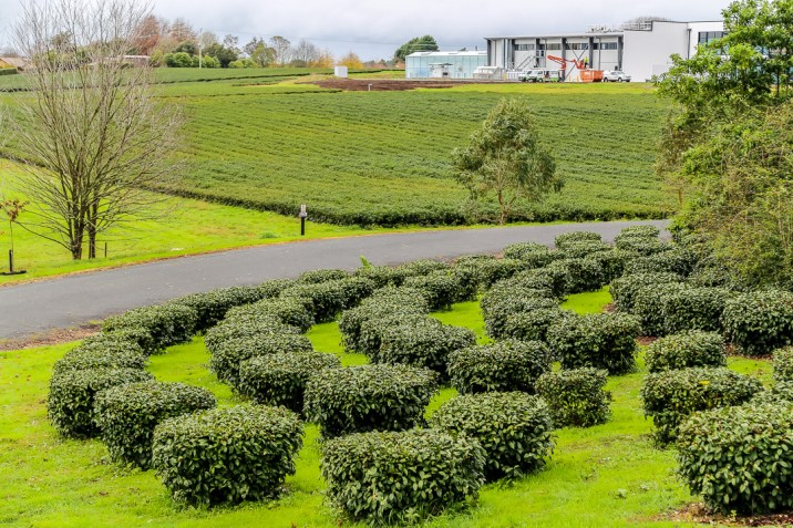 Zealong Tea Estate (Hamilton, New Zealand) 20