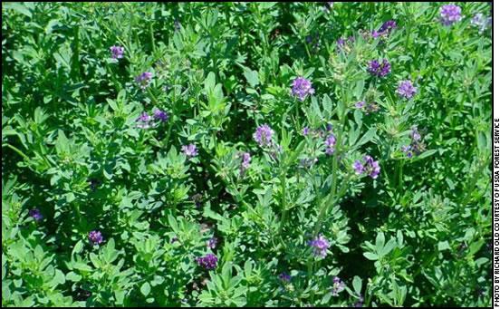 Image result for alfalfa