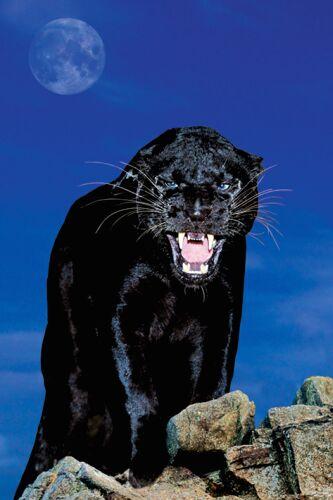 Panther Bild Animaatjes Panter 14714