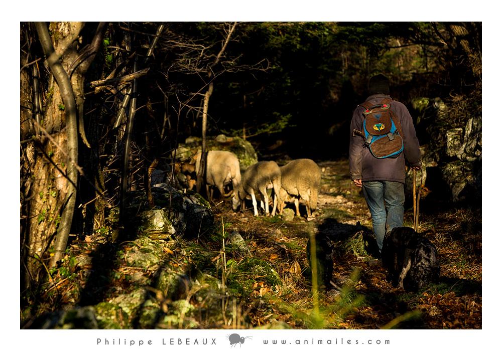 Patrick et les brebis sur la Draille des hautes terres (GR7)