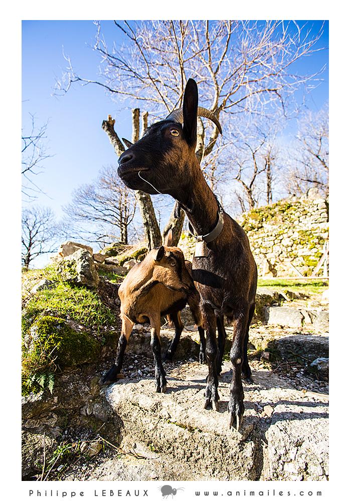 Chèvres vers la Berthézène