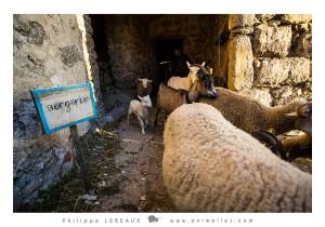 Les brebis et chèvres sortent de la bergerie