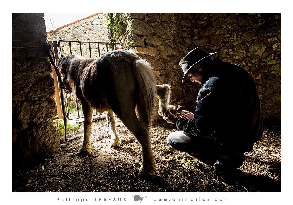 Laurent inspecte les sabots du poney avant de la sortir sur la Draille des hautes terres.