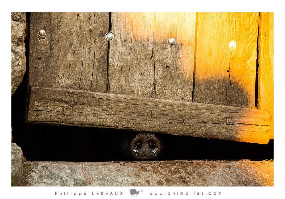 Le groin sous la porte