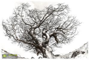 Lingas,Grand Corbeau et hêtre