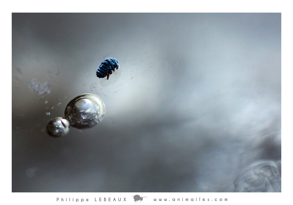 collembola Podura aquatica