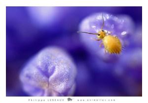 collembola Bourletiella viridescens