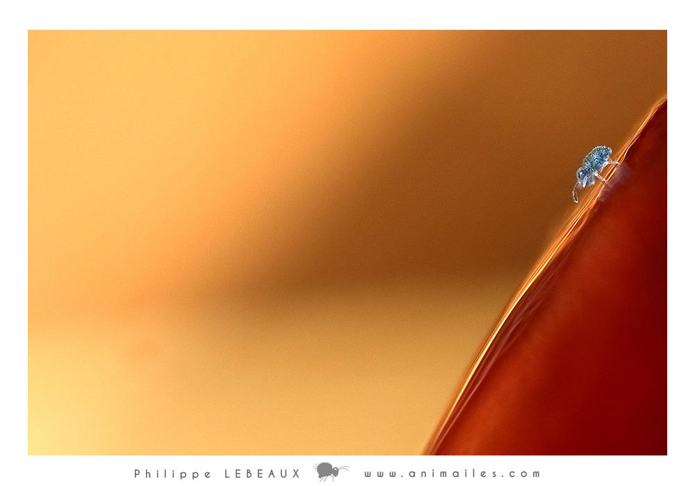 Sminthurinus niger juv