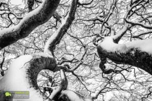 Lingas, détail dans les branches d'un hêtre