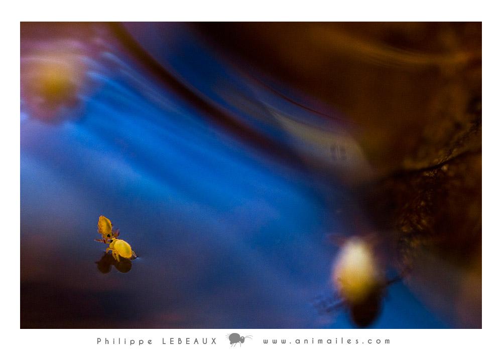 collembola Sminthurides aquaticus courtship