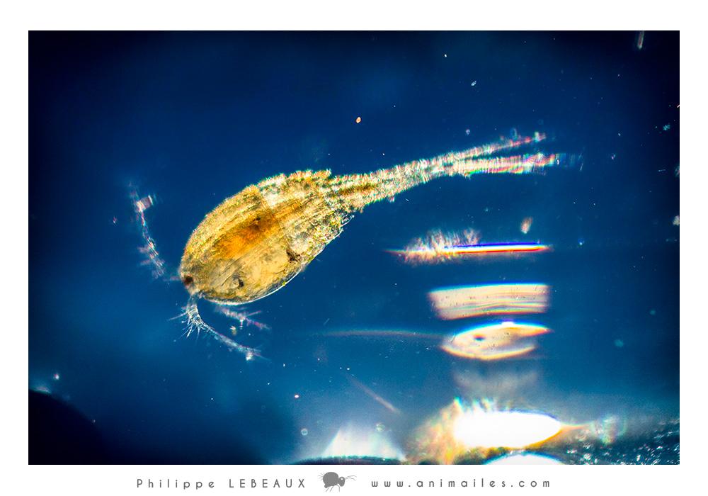 Microfaune aquatique des mares et étangs