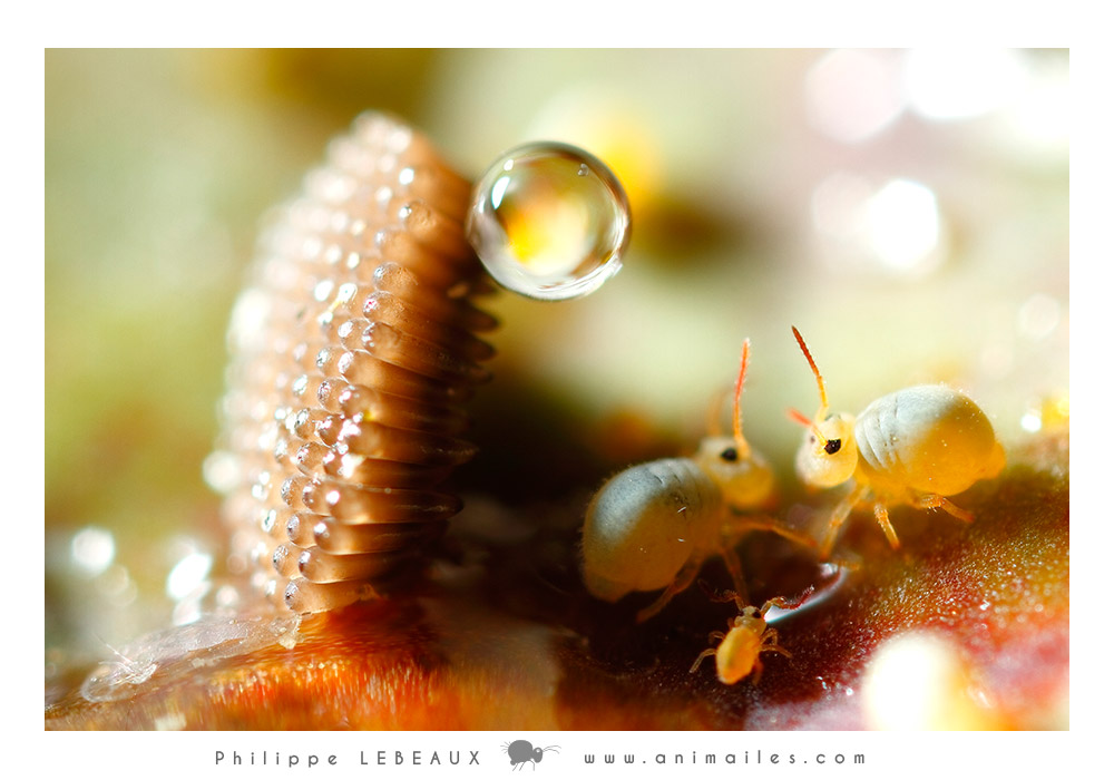 collembole Sminthurides aquaticus