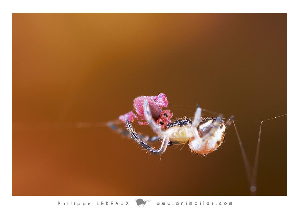 Arachnide et collemboles Sminthurides aquaticus var. levanderi
