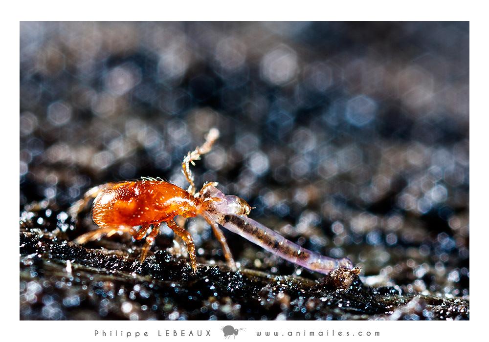 Gamase (acarien prédateur) ayant capturé une larve