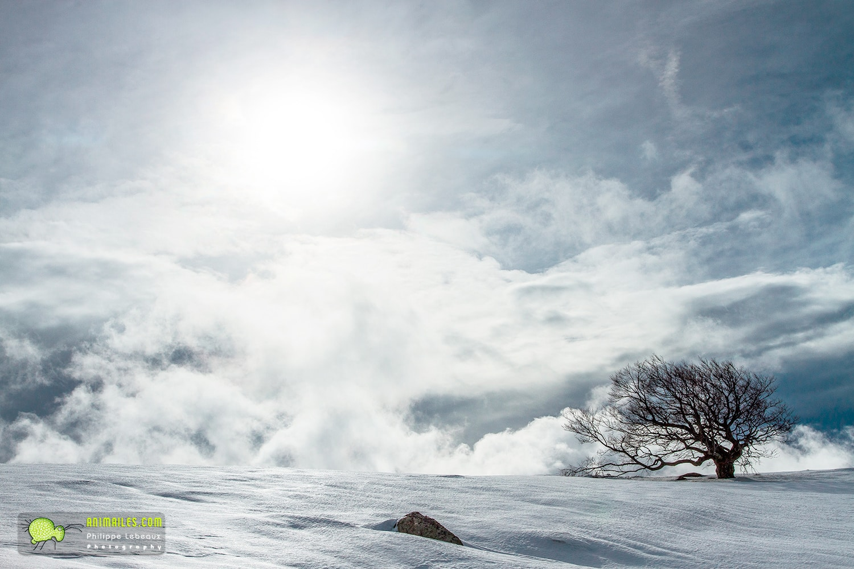 Hêtre au sommet d'une colline