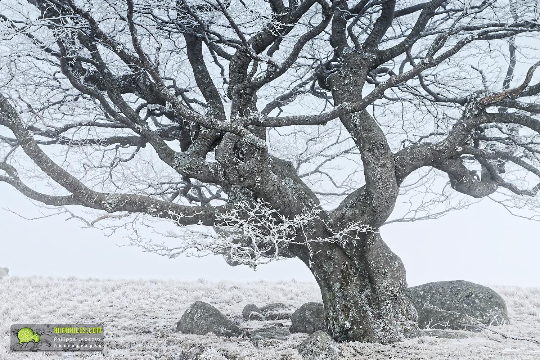 Lingas, focus sur le tronc et branches