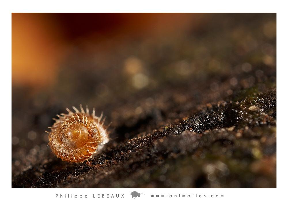 Gastéropode sp. avec soies