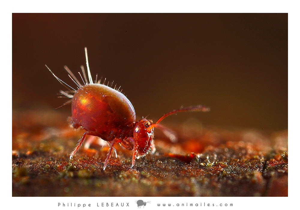 collembola Calvatomina rufescens