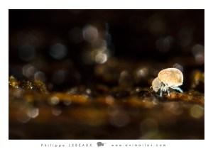 Collembole Neelus murinus