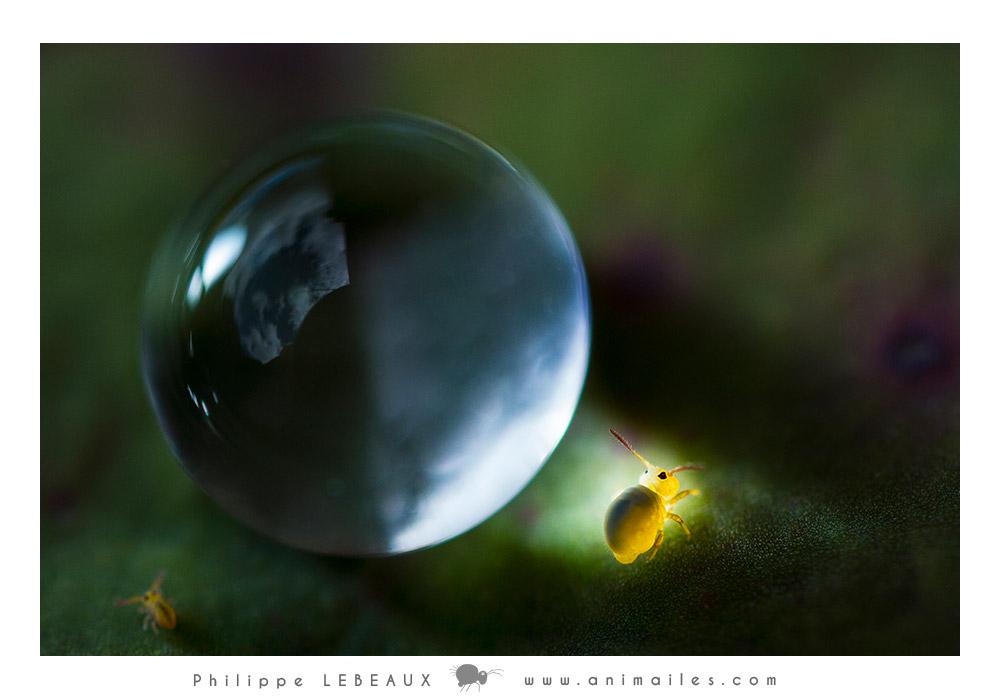 Collembole - Sminthurides aquaticus