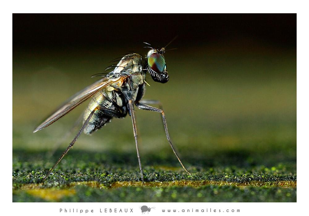 Diptera sp.