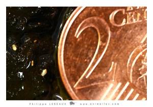 Echelle de taille entre une pièce de 2 centimes et des Sminthurides aquaticus