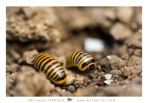 Myriapodes : Glomeris annulata