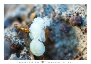 Leptothorax sp. transportant une larve (reine)