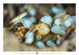 Larves genre Myrmica sp.