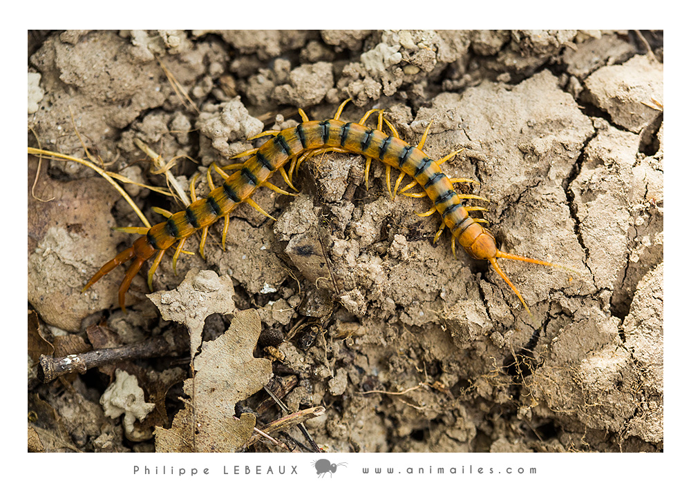 Myriapodes : Scolopendre sp.
