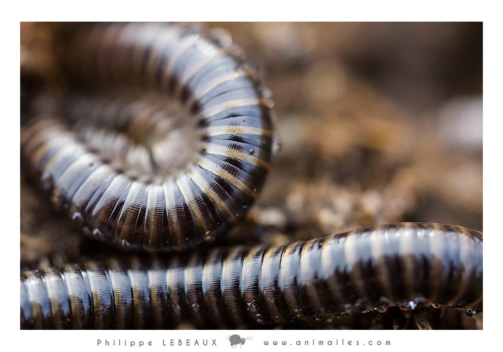Myriapodes : Iule sp.