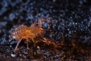 Pseudoscorpion recouvert de gouttelettes d'eau cherchant une proie sur la litière du sol