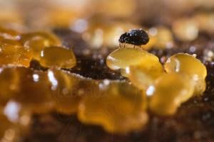 Acarien du sol photographié sur des microchampignons genre Ascomycètes