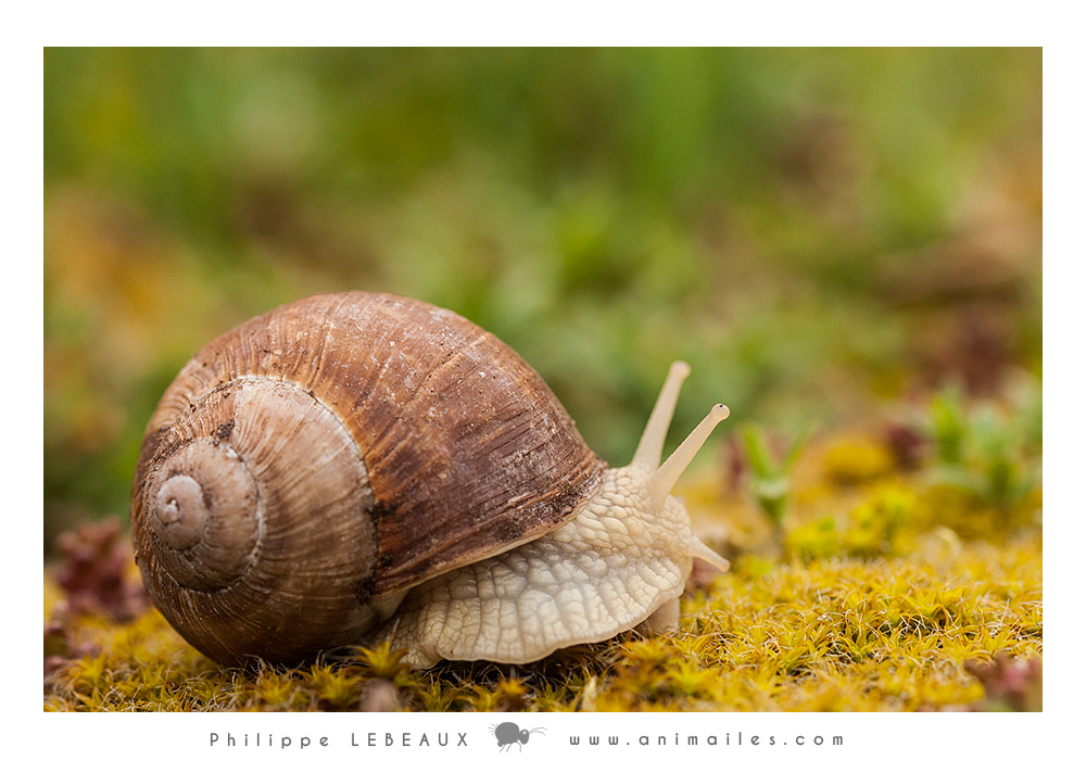 Mollusques : Gastropode sp.