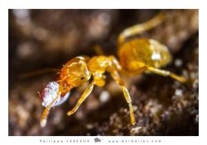 Lasisus sp. capturant une larve d'insecte