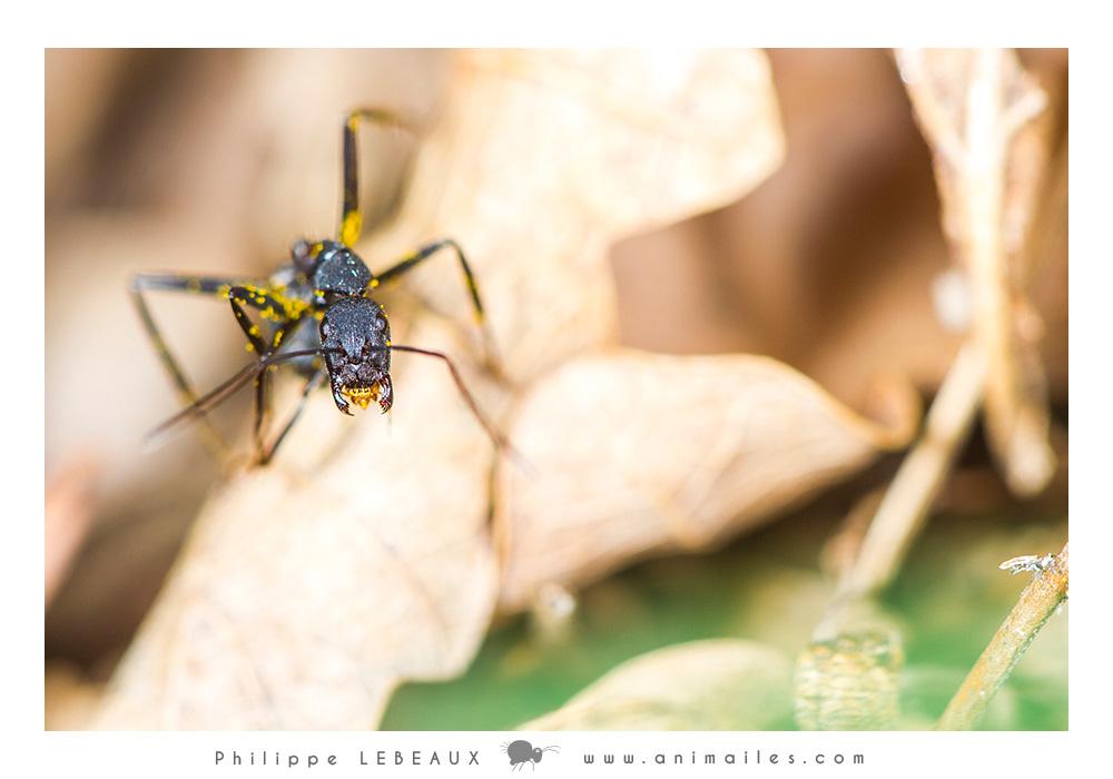 Camponotus cruentatus recouverte de pollens