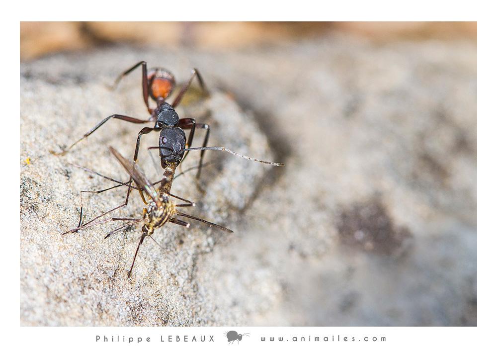 Camponotus cruentatus transportant un moustique mort