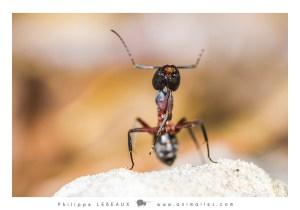 Camponotus cruentatus se nettoyant une patte