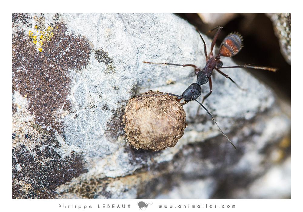 Camponotus cruentatus transportant une boulle de terre