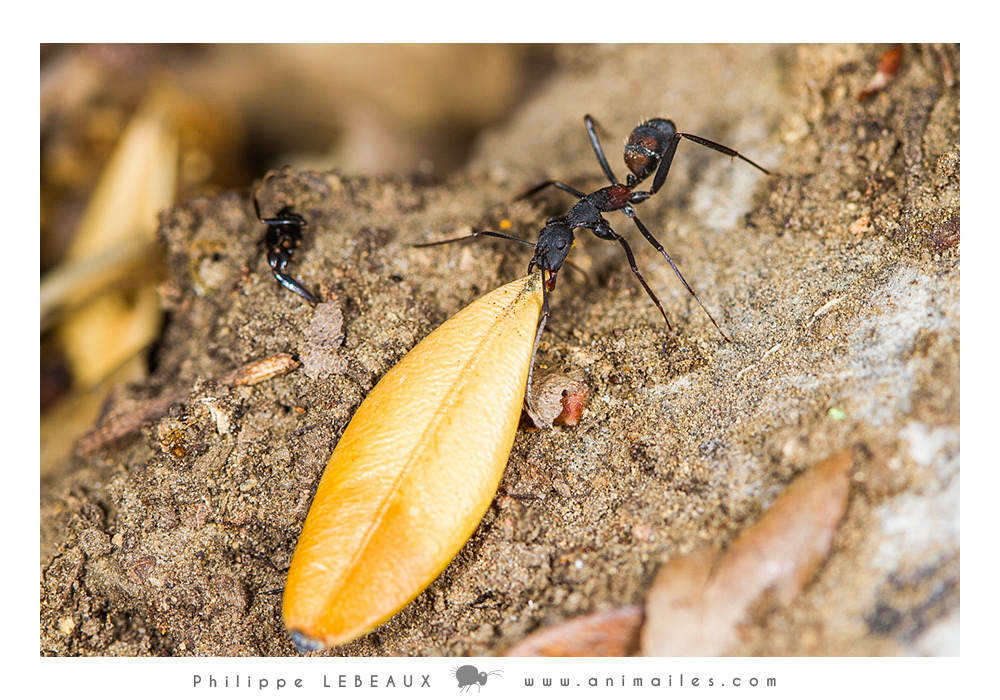 Camponotus cruentatus transportant une feuille