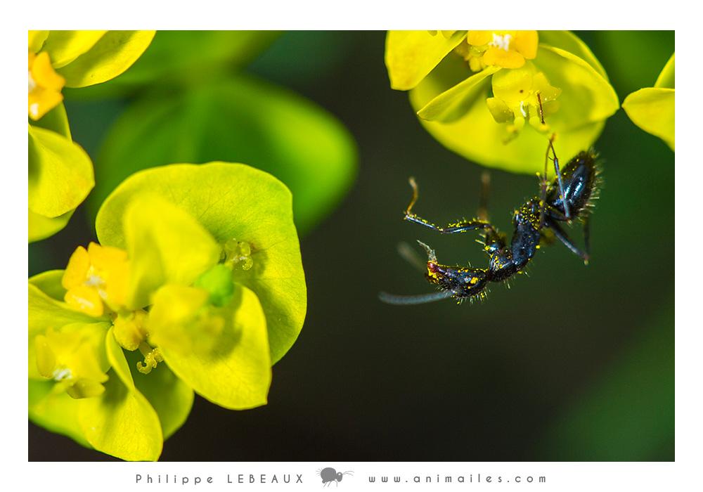 Camponotus sp. sur euphorrbe