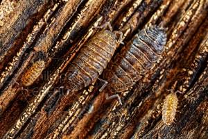 Cloportes Oniscus asellus mimétique sur le sol