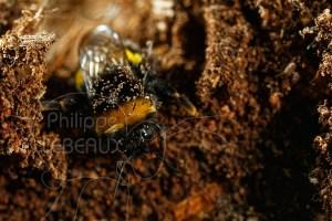 Bourdon terrestre (Bombus terrestris) sortant de son nid